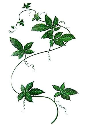 Gynostemma_pentaphylla300-r.jpg