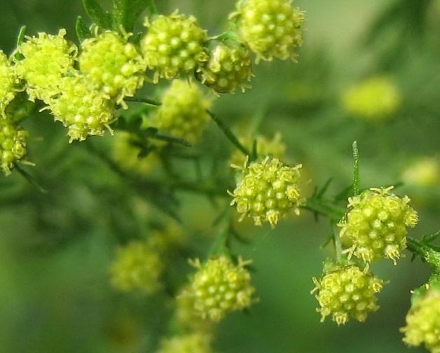 artemisia-annua-bloeiwijze.jpg