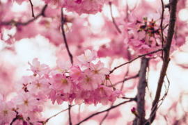 Roomspray Cherry Blossom 100 ml.