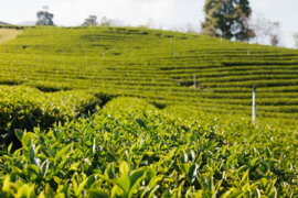 Reed Diffuser Green Tea