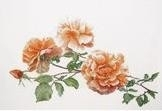 Just Joey - Peach coloured Rose