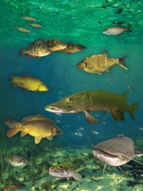 Visposter Zoetwatervissen
