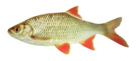 Vis Sticker Vissticker Ruisvoorn 51 cm