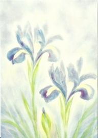 Iris, Jan de Kok