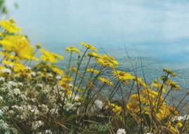 Gele bloemen bij de oever, Angelika Dietschi