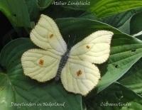 Nederlanse vlinders Citroen vlinder