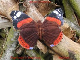 Nederlandse vlinders Atalanta