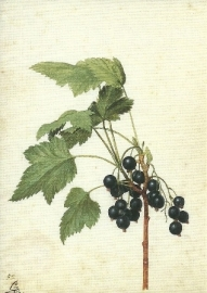 Zwarte bessen, Georg Flegel