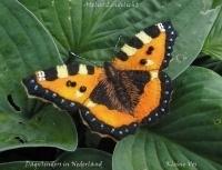Nederlanse vlinders Kleine Vos