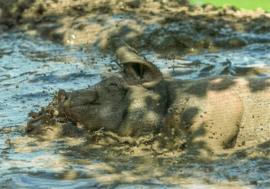 Varken neemt modderbad, Ricarda Grothey