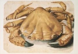 Krab, Albrecht Dürer