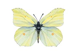 Citroenvlinder, Veerle