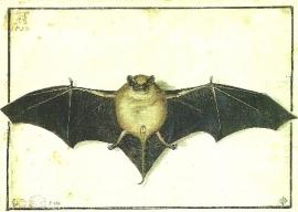 Vleermuis, Albrecht Dürer