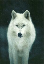 Witte wolf (foto)