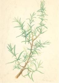 Rozemarijn, Anna Lübsee