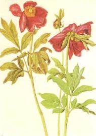 Pioenrozen, Albrecht Dürer