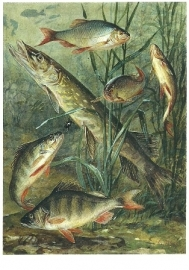 Vissen, Cornelis Jetses