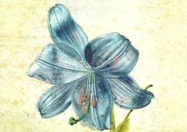 Studie van een lelie, Albrecht Dürer
