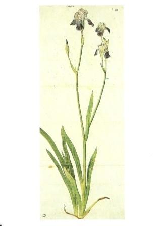 Iris, Albrecht Dürer