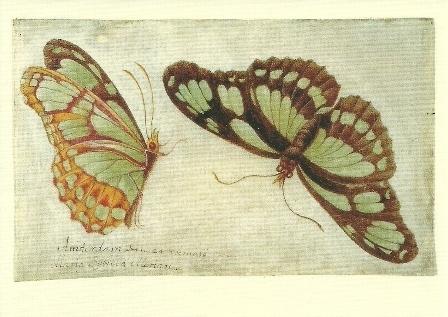 Twee vlinders, Maria Sybilla Merian