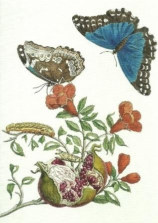 Granaatappel en vlinders, Maria Sibylla Merian