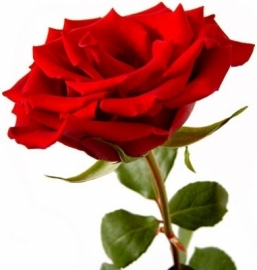 Engelse roos