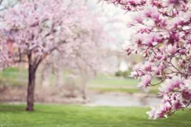 Cherry Blossom & Magnolia