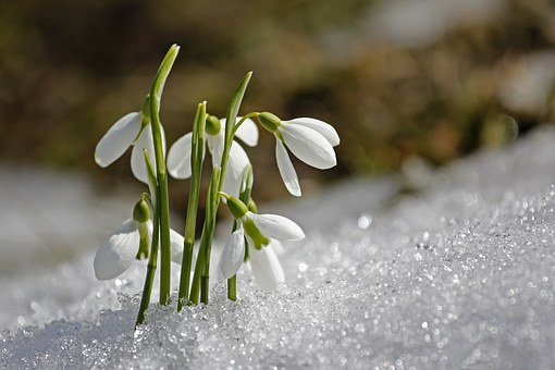 Frost & Snowdrops
