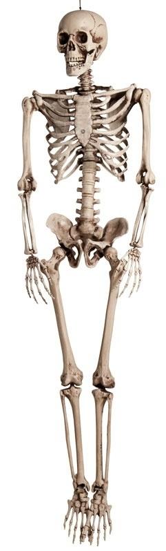 Skelet 160 cm