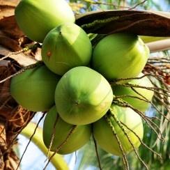 Wat je nog niet wist van een kokosnoot