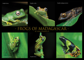 Frogs of Madagascar