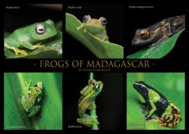 Grenouilles de Madagascar