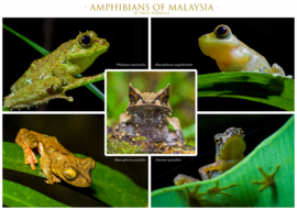 Amphibians of Malaysia