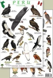 Peru - Roofvogels