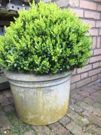 Oude betonnen pot met buxus