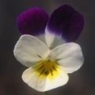 Kruidenthee 3 Kleurig viooltje