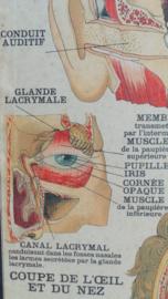 Anatomische schoolplaat 'zintuigen'