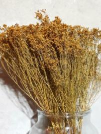 Gedroogde Bos Bloom Broom Geel Droogbloemen