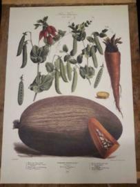 Botanische Prent Vilmorin -The Vegetable Garden- Groente Art Print nr29