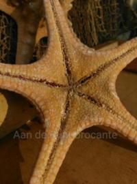 Zeester Philippine 13-16 cm