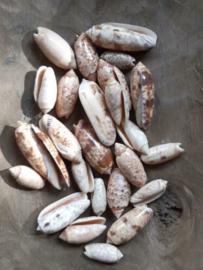 White Olive Schelpen 3.5-5.5 cm 25 stuks