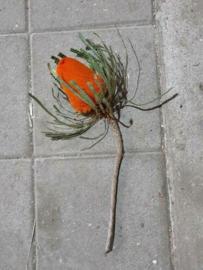 Gedroogde Banksia Hookeriana Oranje Droogbloemen