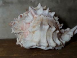 Murex Pink Schelp 8-10 cm