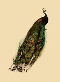 Kaart Ansichtkaart Pauw - Peacock