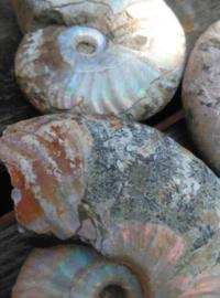 Opaal Iriserende Opaliserende Ammoniet Fossiel Parelmoer