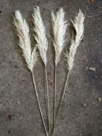 Gedroogde Pampasgras Pampas Grassen Cortaderia Droogbloemen Blond Naturel