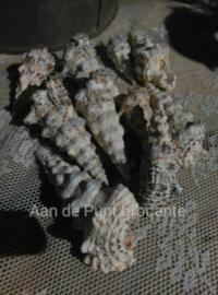 Nodulosum Hoorn Schelpen 8-10 cm 6 stuks