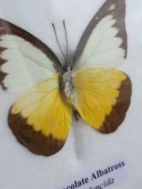 Opgezette Vlinder in Lijst - Chocolate Albatros