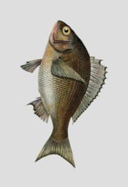 Kaart Ansichtkaart Vis - Fish