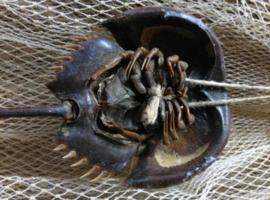 Overige Schelpen, Opgezette Zeedieren & Vissen
